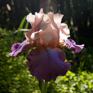 Inspiration Iris digital photograph © 2014 Amy Funderburk, All Rights Reserved