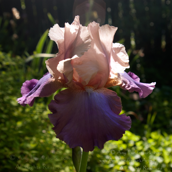 Inspiration_Iris_digital_photograph_copyright_-2014_Amy_Funderburk_All_Rights_Reserved_for_AF_blog_use_only.jpg