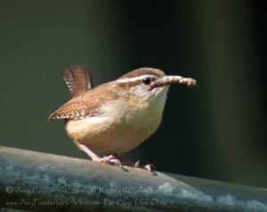 It's Hard to Sing With Your Mouth Full Adult Carolina Wren digital photograph © Amy Funderburk 2013 All Rights Reserved