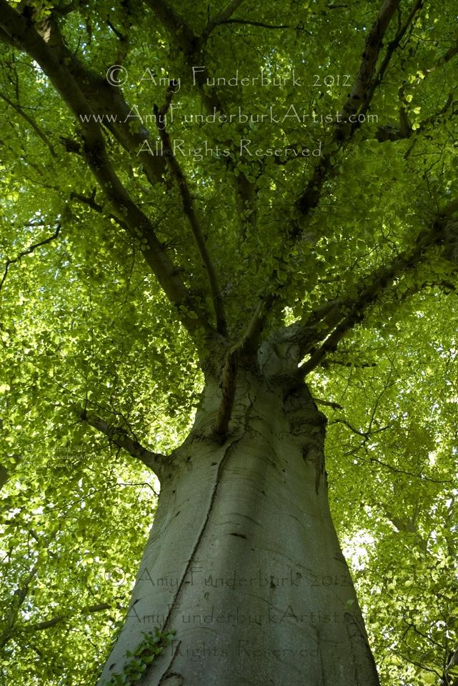 Beech Tree of Camelot